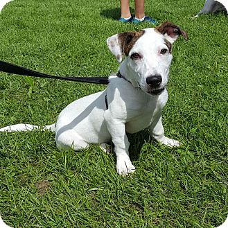 Basset Hound/German Shepherd Dog Mix Puppy for adoption in St John, Indiana - Indie