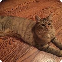 Domestic Longhair Kitten for adoption in Monroe, North Carolina - Taylor
