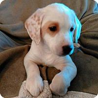 Adopt A Pet :: PUPPY IZZY - Andover, CT