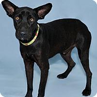 Adopt A Pet :: Négro - Gatineau, QC