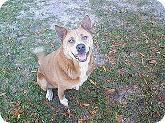 Husky/Australian Cattle Dog Mix Dog for adoption in Williston, Florida - Honey Bear