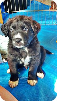 Labrador Retriever/Australian Shepherd Mix Puppy for adoption in Gig Harbor, Washington - Ryder