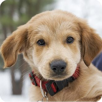 Golden Retriever/Labrador Retriever Mix Puppy for adoption in Brooklyn, New York - Darling Dancer