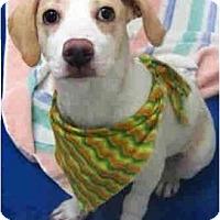 Adopt A Pet :: Maia - Gilbert, AZ