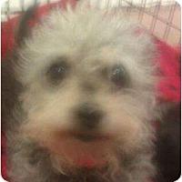 Adopt A Pet :: Chai - no shed curly cutie! - Phoenix, AZ