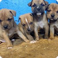 Adopt A Pet :: CHANEL LITTER (6) - Pompton lakes, NJ