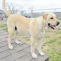 Labrador Retriever Mix Dog for adoption in Iola, Texas - Buddy
