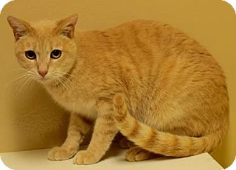 Domestic Shorthair Cat for adoption in Cumming, Georgia - Henry