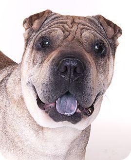 Shar Pei/Pug Mix Dog for adoption in Chicago, Illinois - Talia
