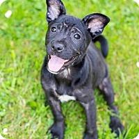 Adopt A Pet :: Bruce Wayne - Pittsburgh, PA