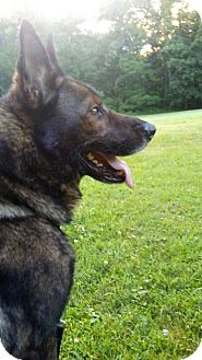 German Shepherd Dog Dog for adoption in Mt. Airy, Maryland - Bronco