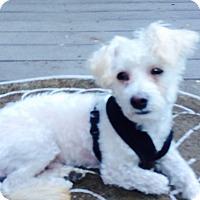 Adopt A Pet :: Ziggy - Gig Harbor, WA