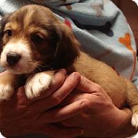 Adopt A Pet :: CHIPMUNK - Dallas, TX