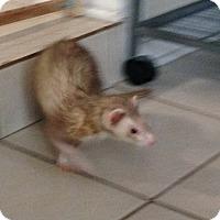 Adopt A Pet :: Cali - Navarre, FL
