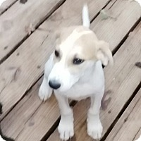 Great Pyrenees Mix Puppy for adoption in springtown, Texas - Jessie
