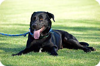 Labrador Retriever Mix Dog for adoption in Phoenix, Arizona - Rose