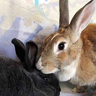 Dutch Mix for adoption in Tustin, California - Butterscotch