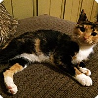 Domestic Shorthair Cat for adoption in Richmond Hill, Ontario - Princess Trudy