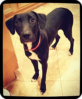 Labrador Retriever Mix Puppy for adoption in Grand Bay, Alabama - Asher