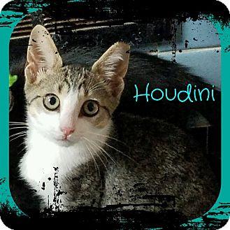 Domestic Shorthair Kitten for adoption in Warren, Michigan - Houdini