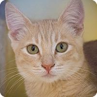 Domestic Shorthair Kitten for adoption in Los Angeles, California - Platano