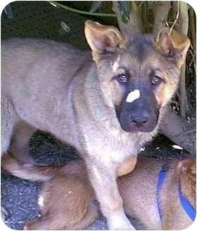 German shepherd dog chow chow mix dog for adoption in dewey arizona