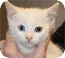 Domestic Shorthair Kitten for adoption in Markham, Ontario - Jack Frost