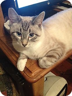 Siamese Cat for adoption in Little Falls, New Jersey - Angelo (DS)