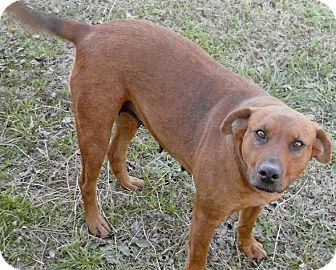 Labrador Retriever Mix Dog for adoption in Moulton, Alabama - Reba