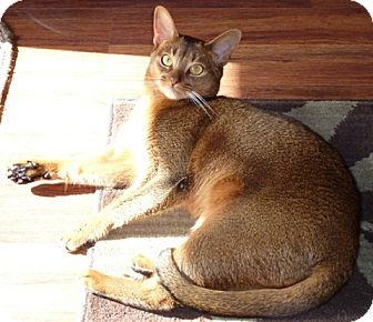 Abyssinian Cat for adoption in Davis, California - Maggie