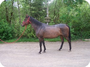 Thoroughbred Mix for adoption in Quilcene, Washington - Page