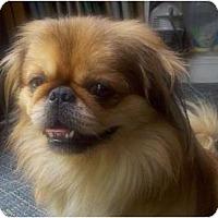 Adopt A Pet :: Mushu-DE - Mays Landing, NJ