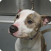 Adopt A Pet :: 106 Hailey - Berlin, CT
