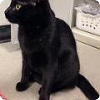 Adopt A Pet :: Darcy - Livonia, MI