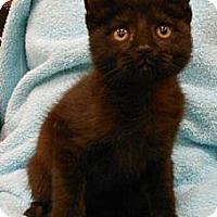 Adopt A Pet :: Andrew - Reston, VA