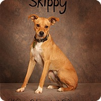 Adopt A Pet :: Skippy - Bedford, TX