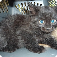 Adopt A Pet :: Charcoal and Cinder - Dallas, TX
