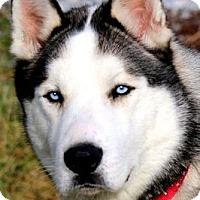 Adopt A Pet :: JACKSON(GORGEOUS PB HUSKY!! - Wakefield, RI