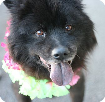 Chow Chow Mix Dog for adoption in Canoga Park, California - Happy AKA Jessica
