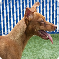 Adopt A Pet :: Rusty - Chula Vista, CA