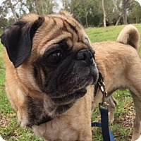 Pug Dog for adoption in Gardena, California - Chuey