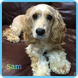 Cocker Spaniel Mix Dog for adoption in Hollywood, Florida - Sammy