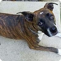 Boxer/Terrier (Unknown Type, Medium) Mix Dog for adoption in Columbus, Ohio - Luna