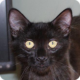 American Bobtail Kitten for adoption in Fairfax, Virginia - Raichu