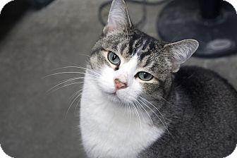 Domestic Shorthair Cat for adoption in Fremont, Nebraska - Monte