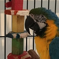 Macaw for adoption in Punta Gorda, Florida - Einstein