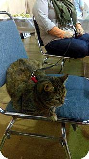Domestic Shorthair Cat for adoption in Buford, Georgia - Brianna-$35.00
