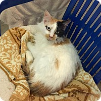 Adopt A Pet :: Baby (& Precious - bonded twins) - Lakewood, CO