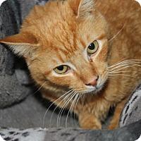 Adopt A Pet :: Cuddles (Neutered) - Marietta, OH