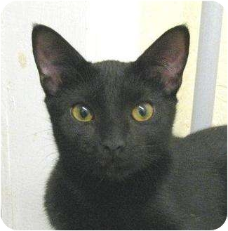 Domestic Shorthair Kitten for adoption in Metairie, Louisiana - Luna